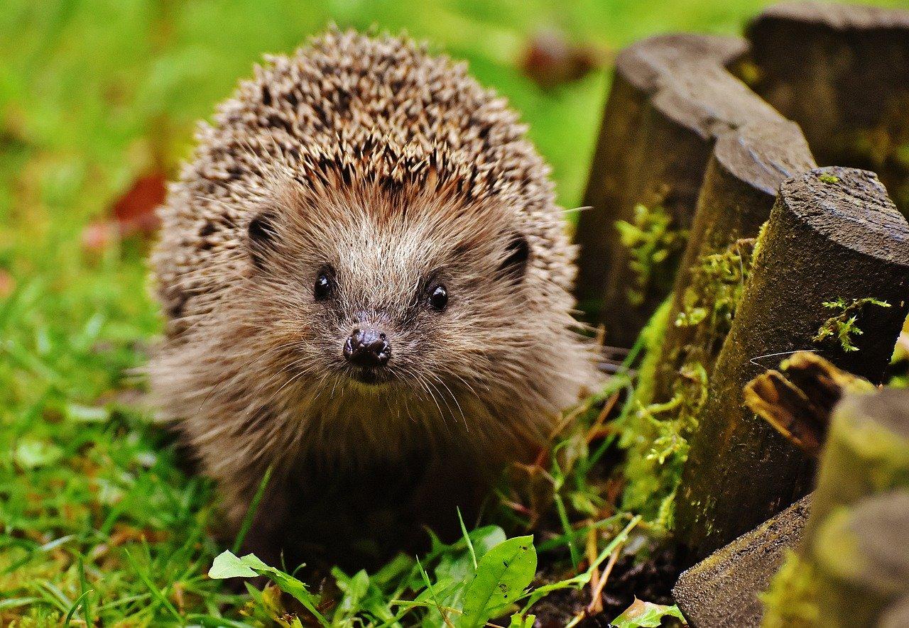 hedgehog child, young hedgehog, hedgehog