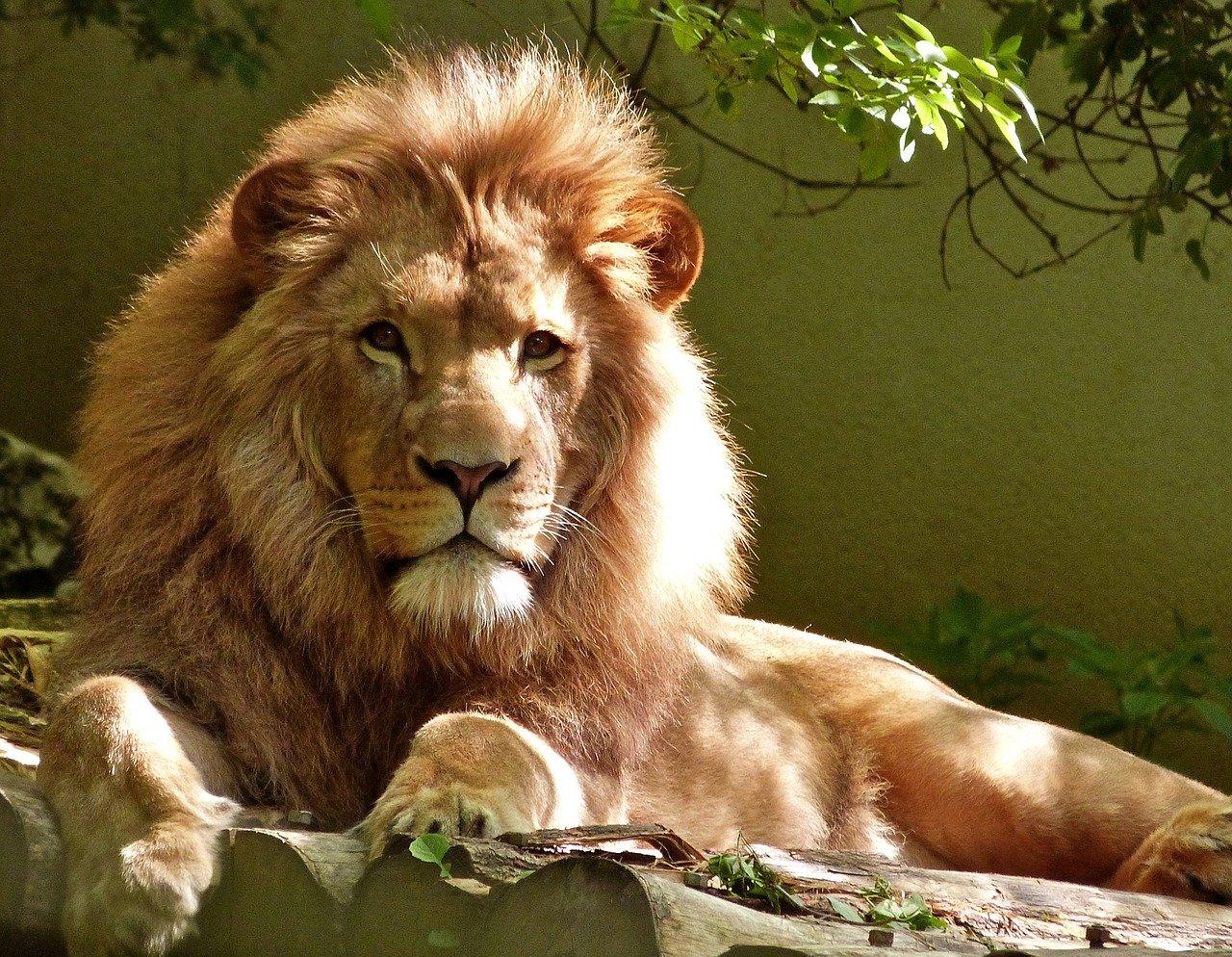 lion, feline, big cat