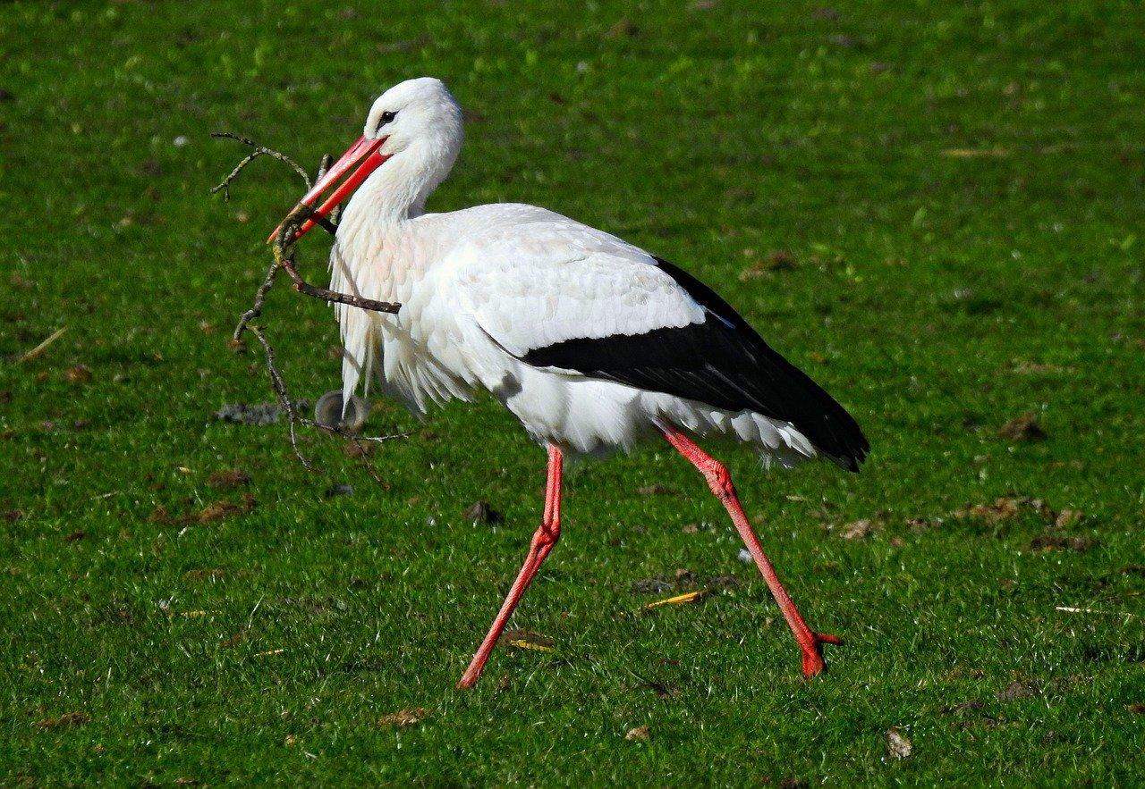 stork, wading bird, ciconia